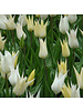 Tulip Daffodil Mix 02 - cheerfull spring - 100% chemicalfree grown
