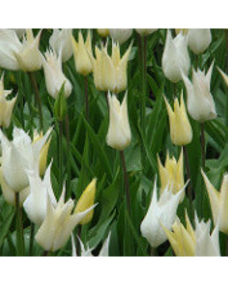 Tulp-narcis mix 02 -cheerfull spring - 100% chemievrij geteeld