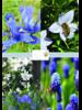 Bienen Mix 02 - blue shades - 100% chemiefreier Anbau