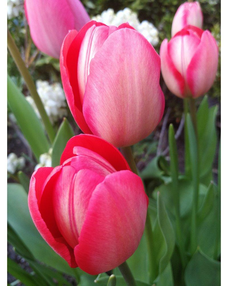 Tulp-narcis mix 02 - Garden Delight.  Volledig zonder chemie geteeld