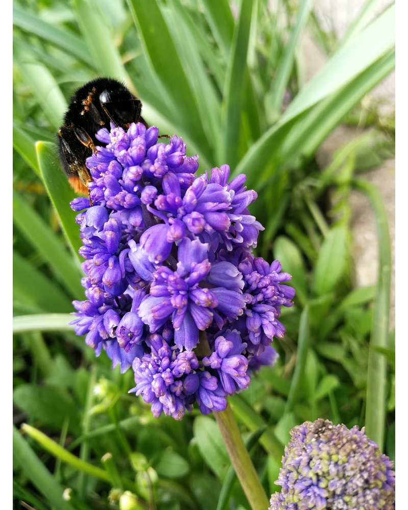 Grape hyacinth - muscari fantasy creation - chemical-free grown