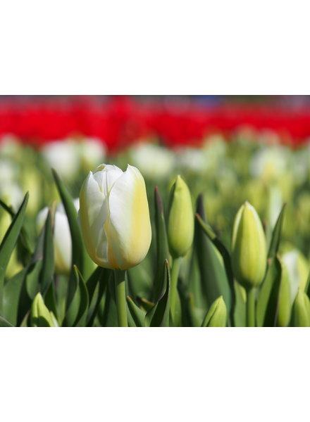 Tulipa Catherina