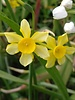 Daffodil New baby  - chemical free grown