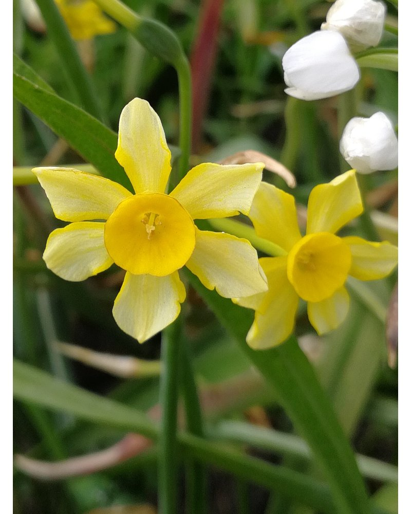 Narcissus New Baby - chemiefreier Anbau