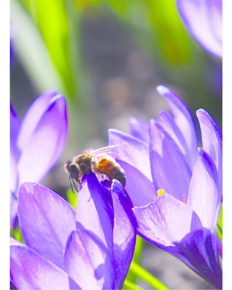 Beekeeper Bulk Package E with 700 flower bulbs. The earliest bloomers with the highest nectar and pollen value.