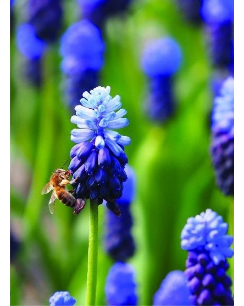 Medium Beekeeper package 8  with 400 pcs. 100% Chemicalfree grown.
