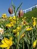 Fuchstrauben-Schachblume - Fritillaria uva-vulpis - chemiefreier Anbau