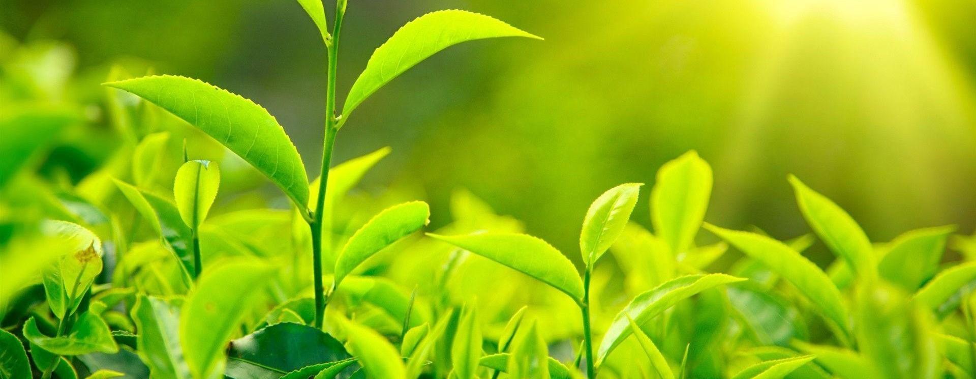 Unsere biologischen Teesorten