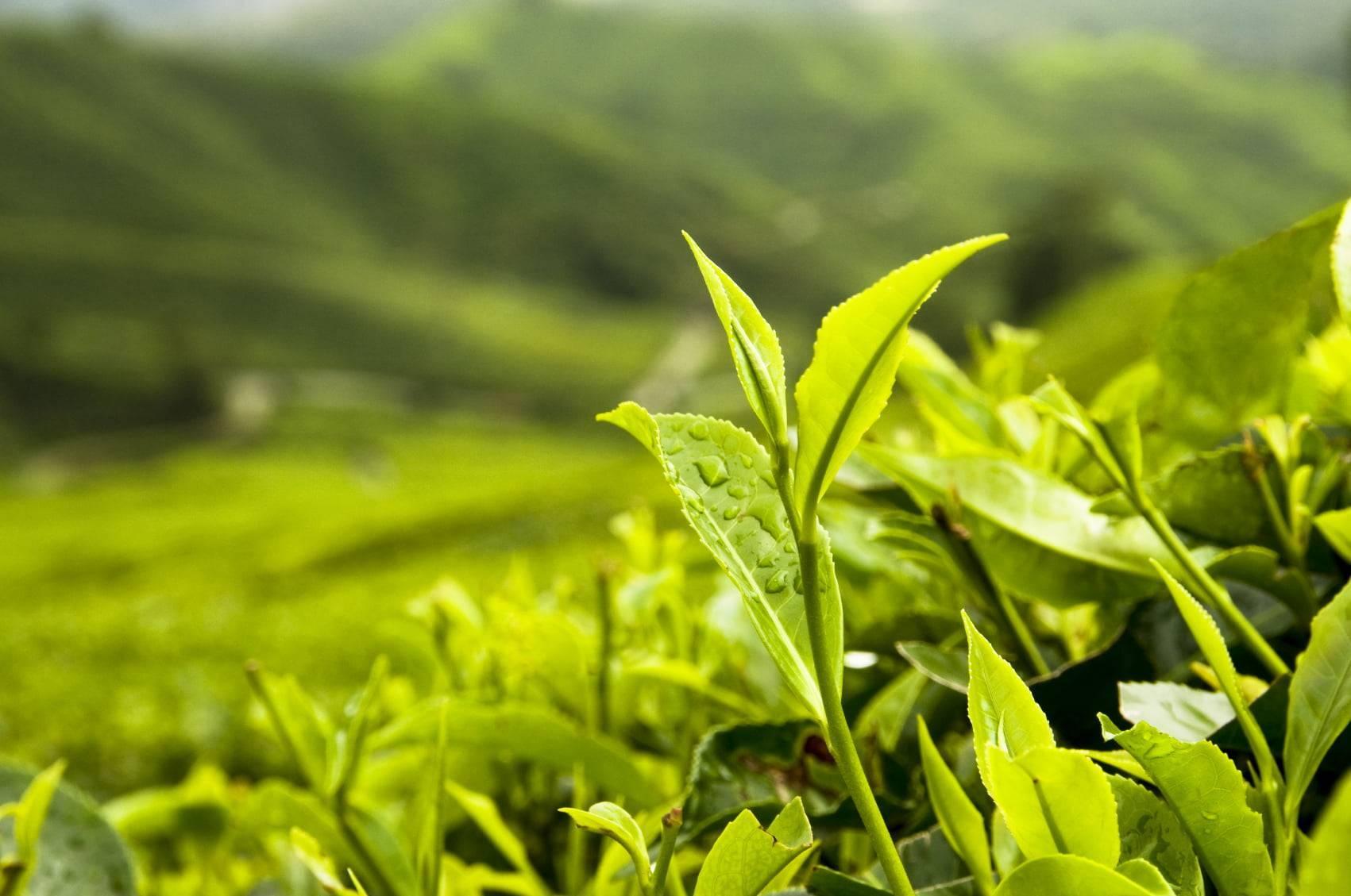 Producten getagd met grüne tee