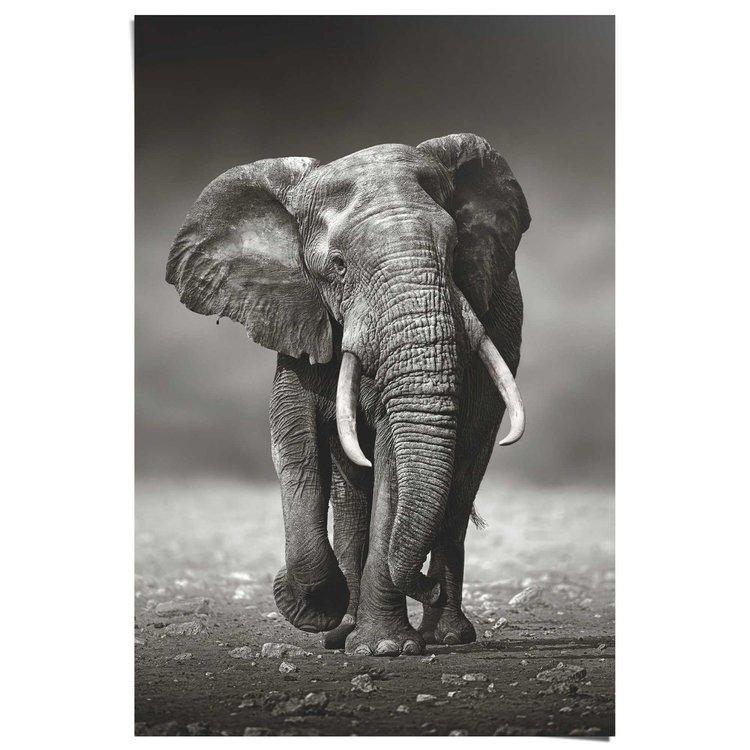 Lopende Olifant  - Poster 61 x 91.5 cm