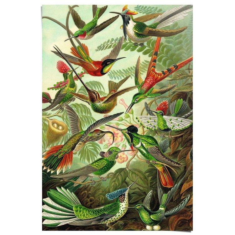 Kolibries Vogels - Natuur - Botanisch - Ernst Haeckel - Poster 61 x 91.5 cm Papier