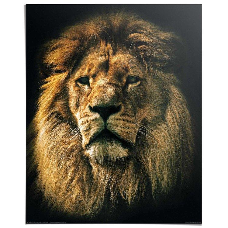 Leeuw Kop - Poster 40 x 50 cm