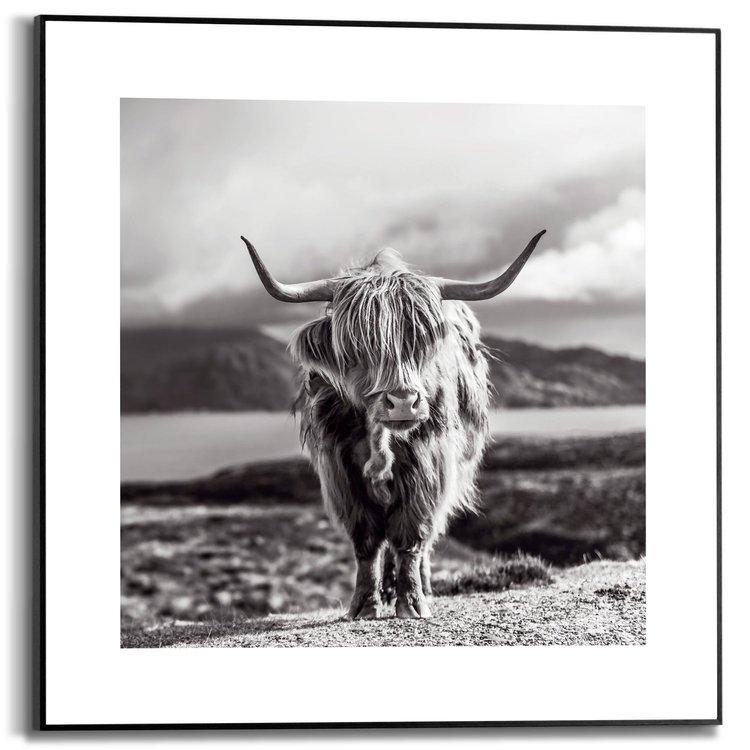 Hooglander Rund - Schotland - Natuur - Highlander - Schilderij Slim Frame MDF 50 x 50 cm