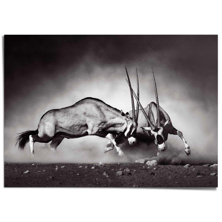 Gemsbok Antilope - Gevecht - Natuur - Fotografie - XXL Poster 140 x 100 cm