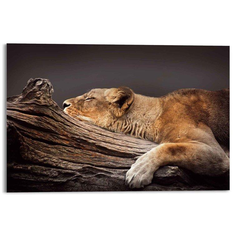 Rustende Leeuwin  Afrika - Roofdier - Katachtig - Slapen - Acrylglas 120 x 80 cm Plexiglas