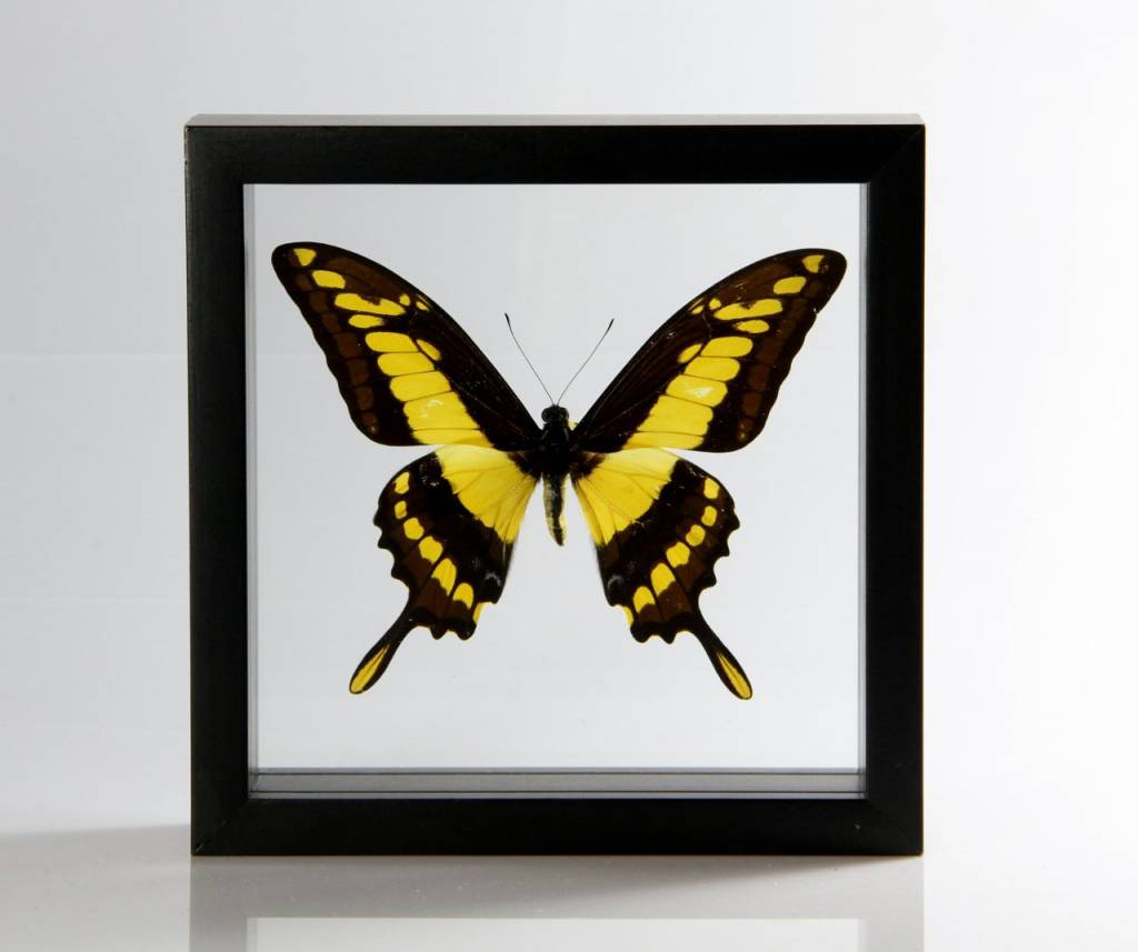 Ingelijste vlinder - Papilio Thoas
