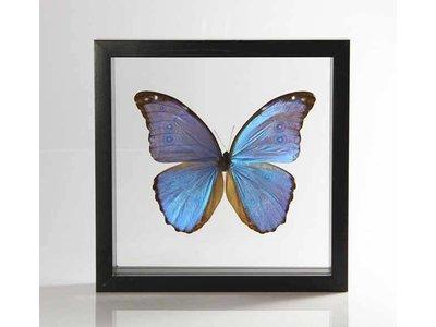 Ingelijste vlinder - Morpho Godarti