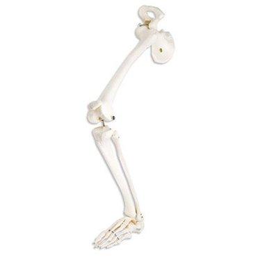 Been skelet A36