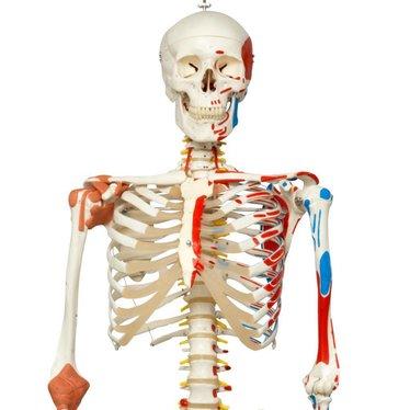 Skelet A13