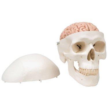 Schedel 8-delig + hersenen A20/9