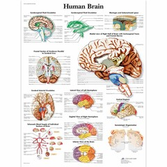3B Scientific Poster Human brain