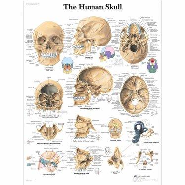 3B Scientific Poster human skull