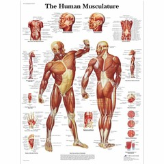 3B Scientific Poster muscular system