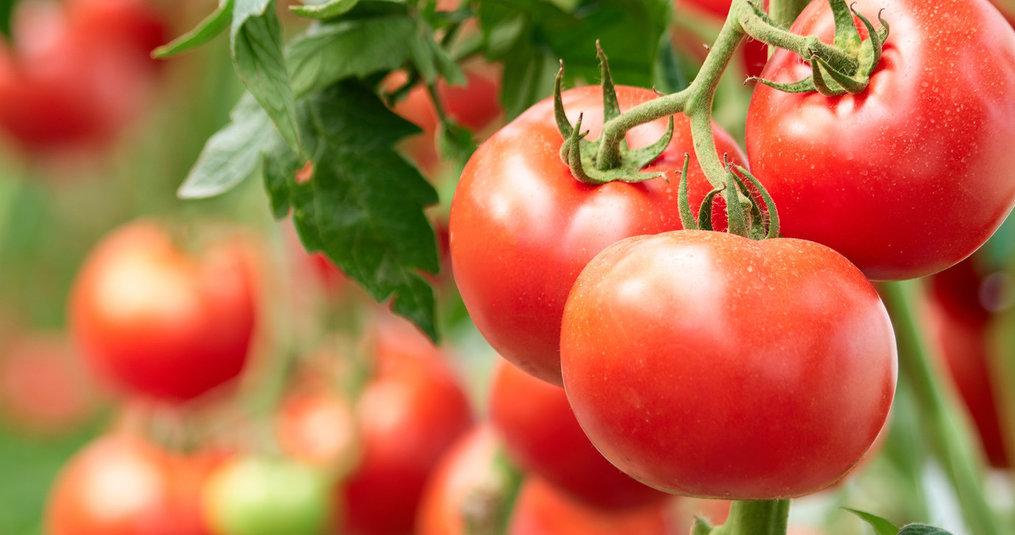Anbau Tomaten