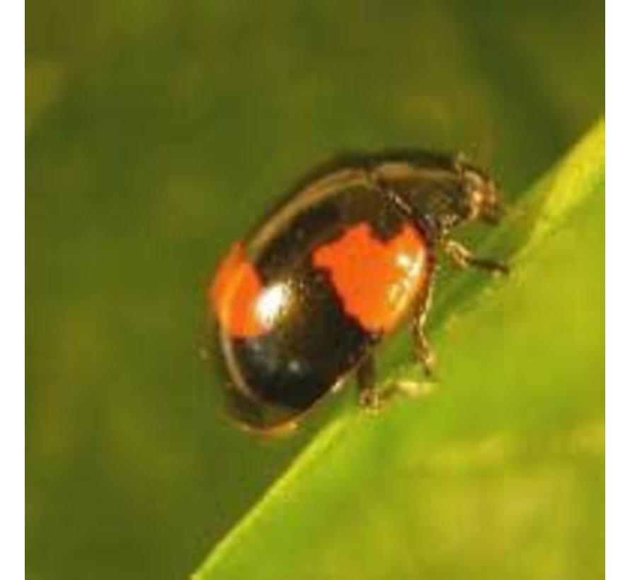 Biogroei Adalia Marienkäferlarven gegen Blattläuse