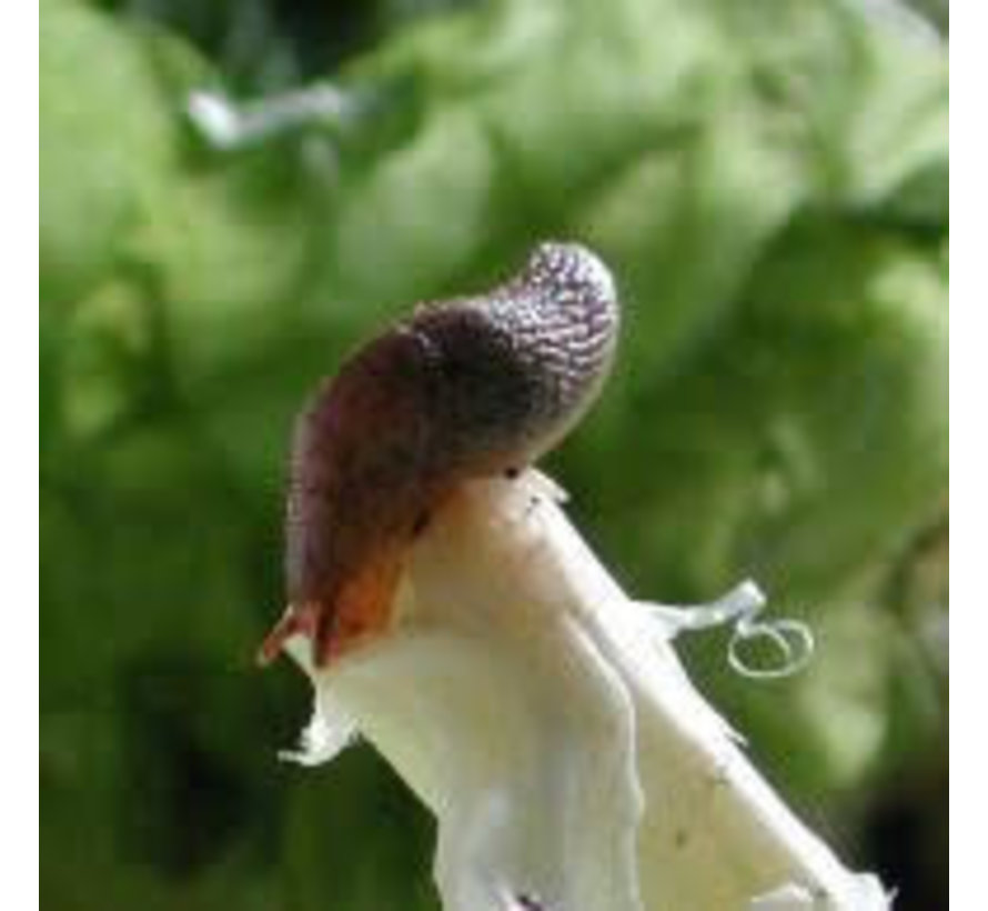 No-Slug System Nematoden gegen Schnecken