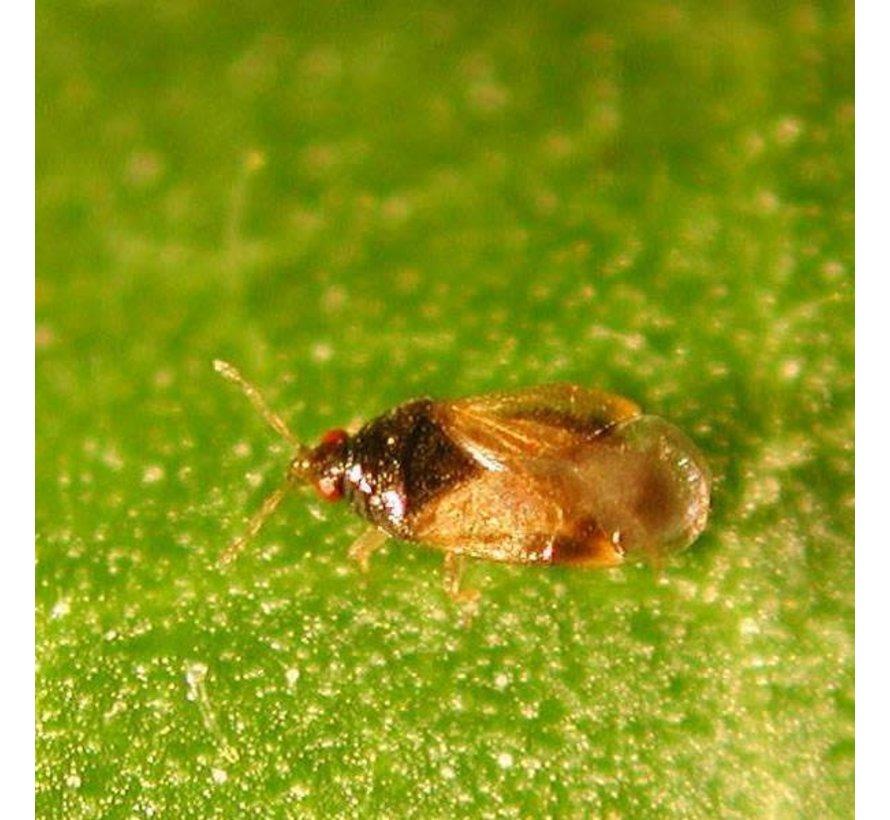 Biogroei Orius Raubwanzen gegen Thripse