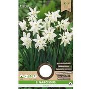 Florex Narzisse Thalia Botanisches Weiß Blumenzwiebeln 8 Stk.
