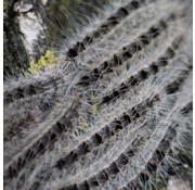 Biogroei Trichterfalle Eichenprozessionsraupe inkl. 2 Pheromone