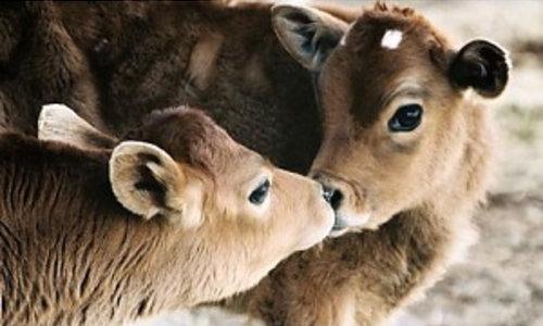 Thermodecke für Kühe / Kälberdecken