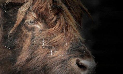 Rinder und Kälberanbindungen / Glockenriemen