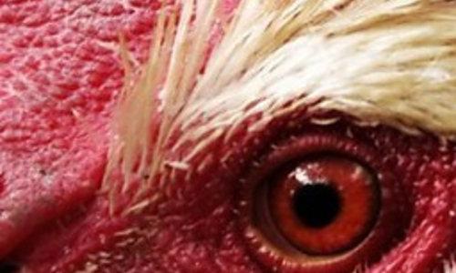 Automatische Hühnertüre & Zubehör