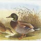 Fritzmann Napkins Duck