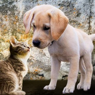 Bluebird puzzel Kitten and Puppy (500 stukjes)
