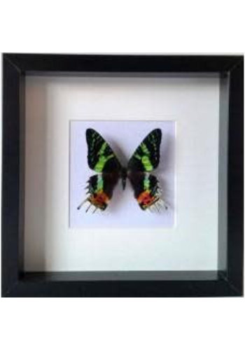 Vlinderwereld Frame Butterfly