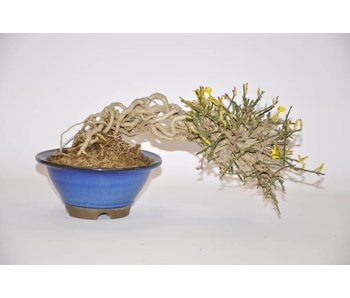 jasminum nudiflorum Bonsai 16cm