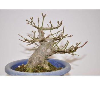 Euonymus Sieboldianus 16 cm