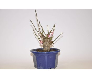 Prunus Mume  pink 156 mm