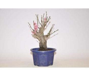 Prunus Mume roze 185 mm
