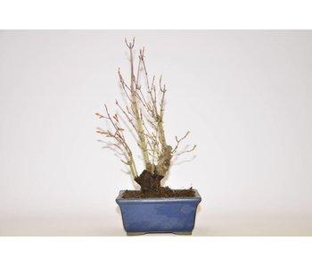 Acer Palmatum 225 mm