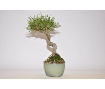 Pinus Thunbergii 155 mm