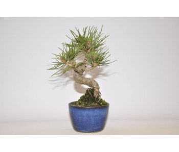 Pinus Thunbergii 125 mm