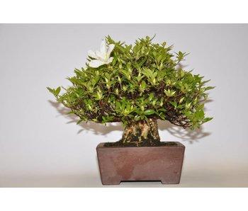 Rhododendron Indicum  Akemi -no- tsuki