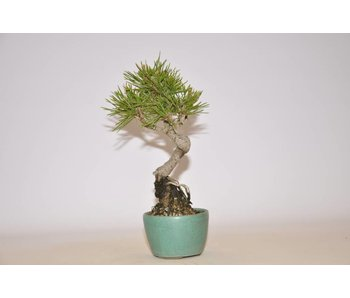 Pinus Thunbergii 180mm