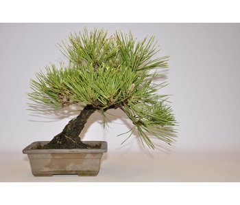 Pinus Thunbergii 250 mm