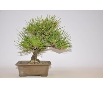Pinus Thunbergii 270 mm
